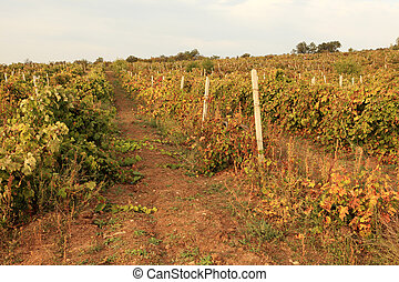 Golden and red vines in a hilly vineyard back lit at sunset