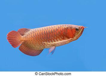 Golden arowana swims in a fish tank.