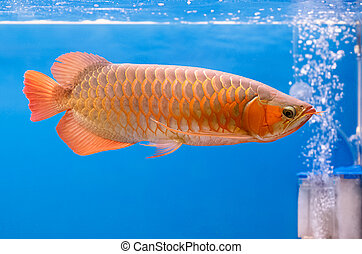 Golden arowana swims in a fish tank.