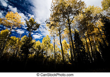 Golden Aspen Forest in Fall