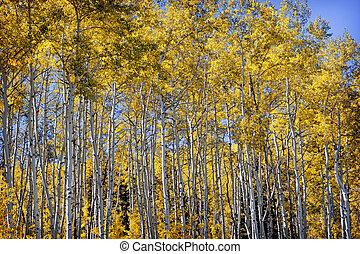 Golden Aspen Grove in Colorado Rocky Mountains