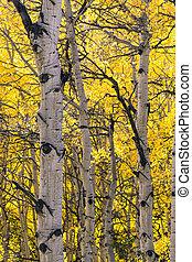 Golden Aspen in the Rocky Mountains of Colorado
