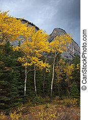 Golden Aspen trees in Banff National Park, Alberta, Canada