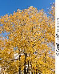 golden autumn aspen leaves