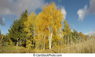 Golden autumn birch grove and wind. Time lapse - Golden...
