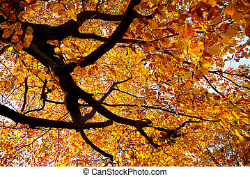 Golden autumn - Branches of a large beech tree in vivid ...