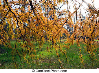 Golden autumn, bright yellow branches of larch . Saint Petersburg.