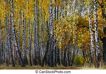 Golden autumn in birch grove, natural landscape