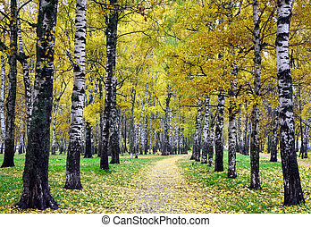 Golden autumn in the park with white birches