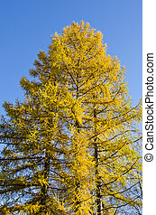 golden autumn larch tree on blue sky background