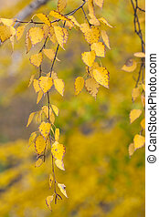 autumn leaves of a birch tree