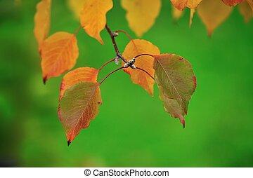 autumn leaves of Manchurian pear