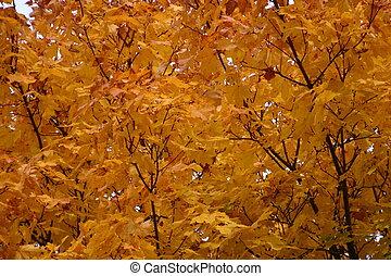 Golden Autumn leaves