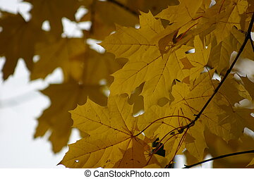 Golden Autumn maple leaves