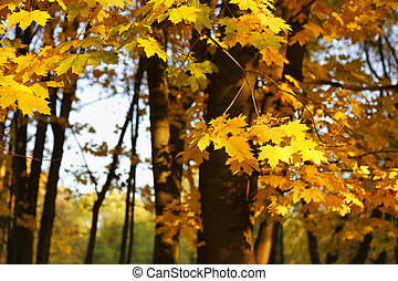 Golden autumn maple trees burning in the evening sun
