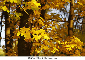 Golden autumn maple trees burning in the evening sun