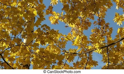 Shooting from the bottom to the top of the trees with autumn yellow maple leaves