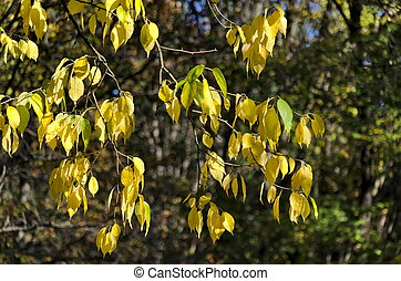 Golden autumnal foliage of ash - Sunlit golden autumnal...