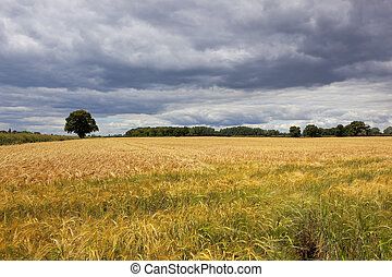 golden barley and stormy skies
