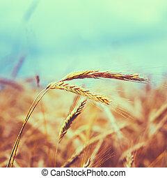 Barley Ears In Summer