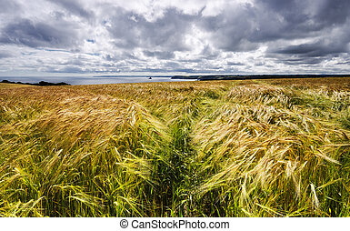 A field of golden ripe barley overlooking the sea in on the south coast of Cornwall