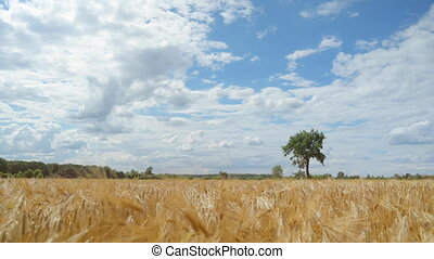 Golden wheat or barley field, ears swaying from the wind. Summer landscape with wheat field and cloudy blue sky. Grain ready to be harvested.