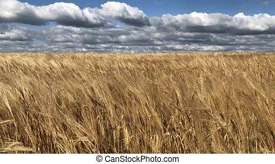 golden barley field
