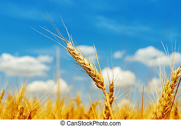 golden barley on field under blue sky