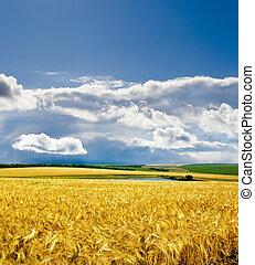 golden barley under dramatic sky