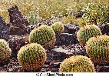Golden Barrel Cactuses Desert Botanical Garden Phoenix Arizona