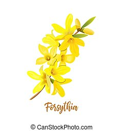 Golden Bell, Forsythia suspensa, Easter tree, spring branch with blossoming yellow flowers. Vector illustration