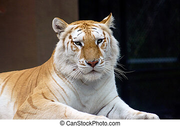 Golden Bengal Tiger (disambiguation - Picture of Golden ...