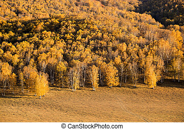 golden birch forest in autumn