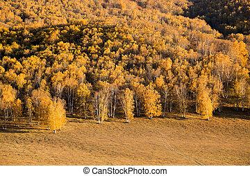 golden birch forest in autumn