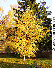 golden birch in the park