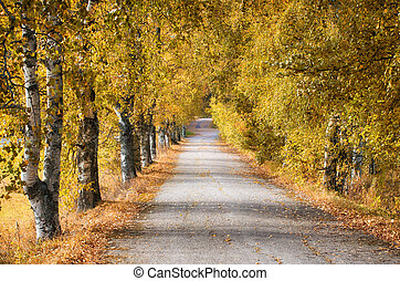 Golden birch trees along road