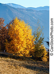 Golden birch trees in autumn mountain.