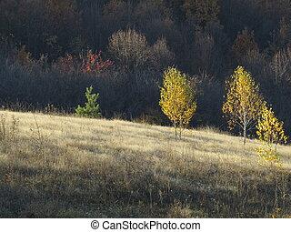 Golden birch trees