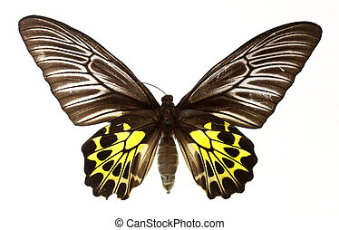 golden bird wing butterfly isolated on white