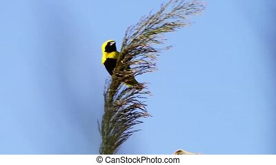 Golden Bishop bird on wild grass against clear blue sky.