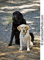 Golden & Black Lab - Monty & Droeppie