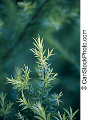 Golden Bottle Brush, River Tea Tree, Black Tea tree, Prickly...