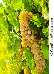 Golden bunches of grape