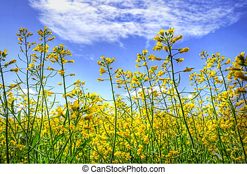 Golden canola and sky - Hdr rendering of golden yellow...