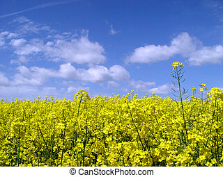 golden canola field - blooming rape field and bright blue...