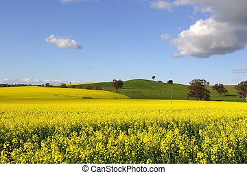 Golden canola flowering in springtime in Cowra, Central West...
