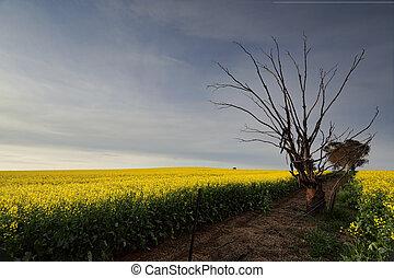 Golden Canola rural farmland