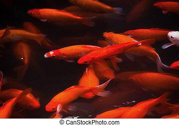 Golden Carp Swimming West Lake Hangzhou Zhejiang China