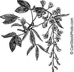 Golden Chain or Golden Rain or Cytisus laburnum or Laburnum anagyroides, vintage engraving