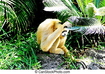 Golden cheek gibbon.